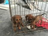 腊肠犬喜欢的联系、最后两只母便宜出售