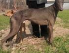 陕西细犬价格,纯种格力犬养殖场,山东细犬