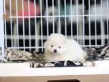 青岛哪里有宠物狗卖哈多利版球型博美宝宝 可爱至极
