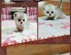 自己繁殖小加菲猫(便宜无病无癣)
