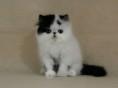 专业猫舍长期出售纯血 波斯猫宝宝 健康保障欢迎随