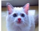 CFA TICA双注册猫舍 布偶猫 双色布偶MM