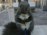 出售魔王松鼠蜜袋鼯雪地松鼠红腹黄山松鼠