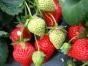 南部山区草莓采摘基地春节正常营业