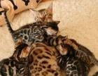出售三只小母豹猫