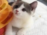 家养繁殖宠物猫咪