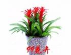 鸿运当头盆栽 开业送礼年宵花 室内植物 花卉盆栽