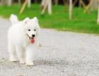 高品质萨摩耶雪橇犬 纯种健康 洁白如雪微笑迷人