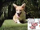 陵水純種柯基犬價格 陵水里能買到純種柯基