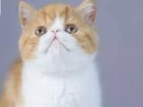 重庆铜梁纯种双血统加菲猫价格