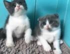 全款800元起出售纯种英短蓝猫,蓝加白,美短起司宝宝