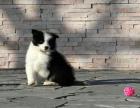 cku注册五星级犬舍 双血统边境牧羊犬可上门挑选