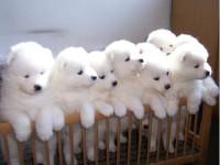 贵阳最大狗场 特价直销世界名犬 萨摩耶犬等品种三百起