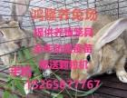 河北肉兔最新市场价格衡水杂交野兔养殖利润与肉兔养殖效益分析