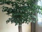 江苏南京新街口写字楼植物租赁南京办公室植物租摆公司