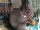 出售魔王松鼠雪地松鼠红腹黄山松鼠