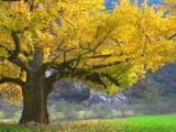 大量供应银杏树