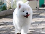重庆出售纯种萨摩耶犬 自家养殖的 当面测试交易 同城免费送狗