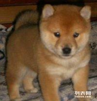 自己家养的母狗生了一窝纯种秋田幼犬300一只找好心人领养回家