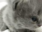 感恩节出生的英短小猫预订