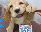 出售 超可爱可卡犬 品种优良 看你选择