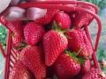 安阳市塔晟家禾草莓园