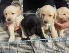 上海出售纯种拉布拉多犬 赛级品质 健康质保 聪明灵活