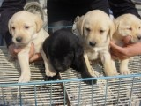 纯种拉布拉多猎犬幼犬导盲犬赛级品质神犬小七送货上门