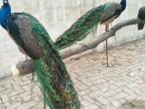 孝感高质量小蓝孔雀苗价格 孔雀苗养殖