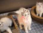 长春哪里有卖布偶猫 长春纯种布偶猫一只多少钱