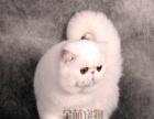 加菲猫宠物 异国 异国短毛猫纯种宠物猫幼猫活体 加