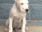 纯种健康杜高犬 实物拍摄 多只挑选 售后有保障