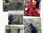 上海农家乐一日游 游滴水湖看海 采草莓赏桃花吃土菜