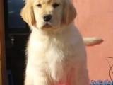 昆明金毛多少钱 昆明纯种金毛价格 昆明哪里卖健康的金毛犬