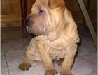 双血沙皮犬 专业繁殖 可上门挑选 协议质保