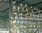 常德现在肉鸽多少钱一对元宝鸽价格