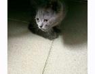 英短蓝胖子小猫咪