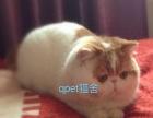 CFA纯血统加菲猫异国短毛猫出售及配种借配