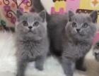 一手商家全国寻宠物店、网络代理合作。所售猫咪保健康