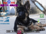 哪一家宠物店卖纯种健康的德国牧羊犬黑背多少钱一只