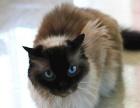 专业养殖场养殖可爱的布偶猫,支持空运 欢迎 咨 询