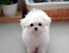 马尔济斯犬 常年销售 包细小犬瘟冠状 包防疫包纯种