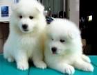 精品萨摩耶 打完疫苗证书齐全 提供养狗指导