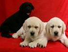 上海狗狗之家长期出售高品质 拉布拉多 售后无忧