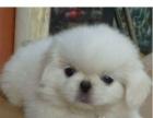 纯种京巴幼犬转让 小京巴很活泼很聪明