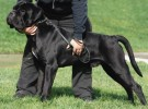 出售纯种卡斯罗 卡斯罗幼犬 质量好 包健康 血统保证