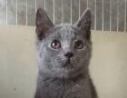 蓝猫宝宝45天了都是公的