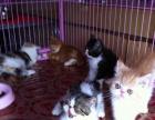 一窝2个月加菲猫猫 1公5母