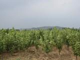 烟台哪有卖大樱桃苗|哪里能买到品种好的二年苗