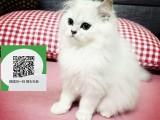 南阳哪里有宠物店 南阳哪里卖宠物猫便宜 南阳金吉拉价格